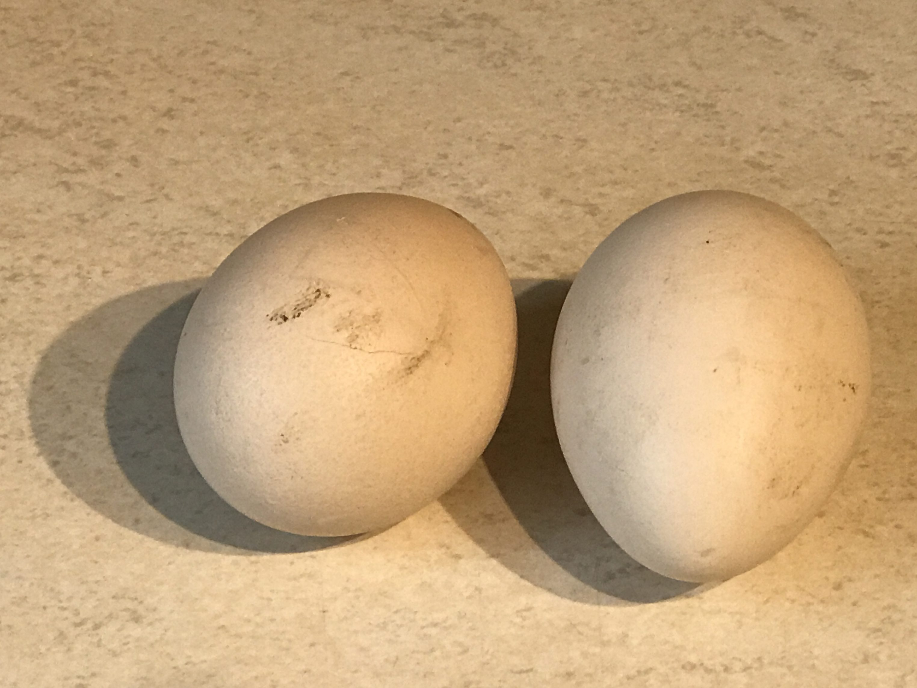 The peahens are still laying peafowl eggs - Peacocks UK