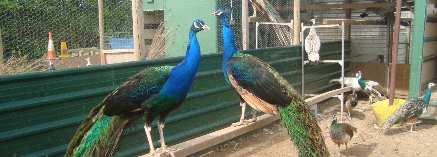 Black Shouldered peafowl