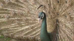 Peafowl for Sale