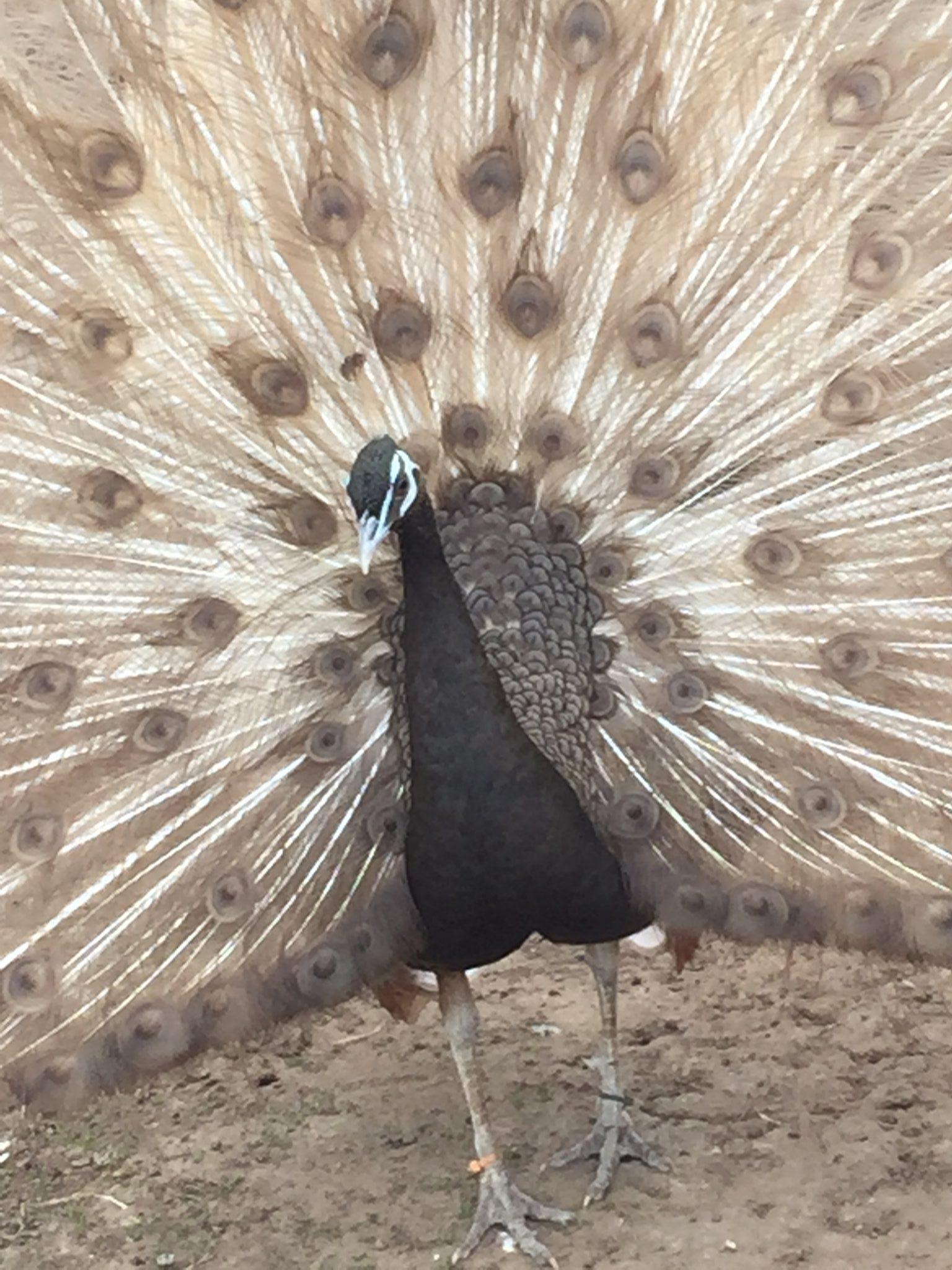 Keeping Peafowl Peacocks Uk