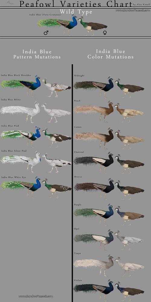 Peafowl varieties