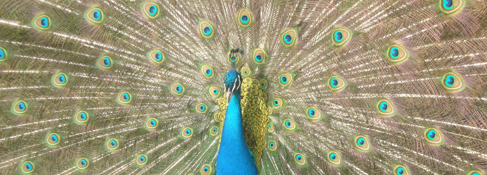 peacocks breeding season