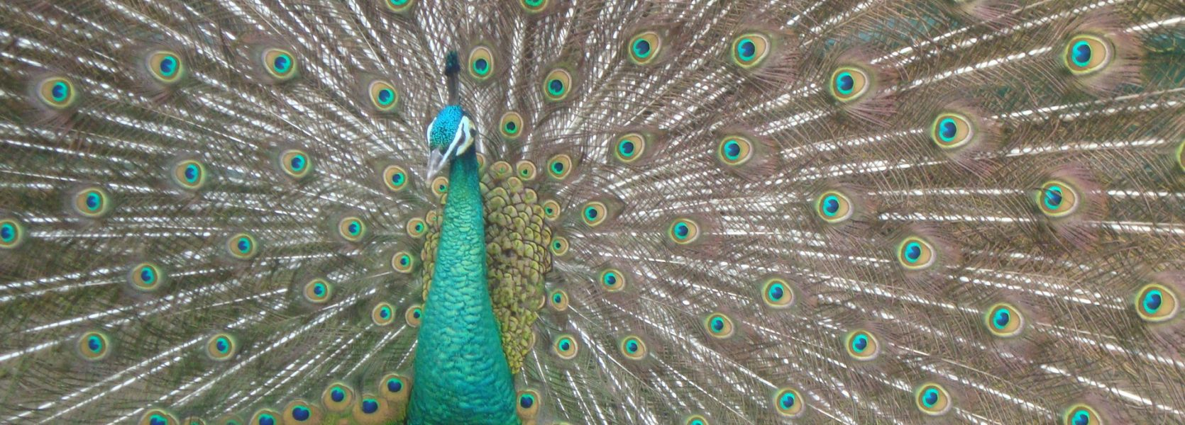 fascinating peacock facts