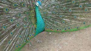 buy a peacock