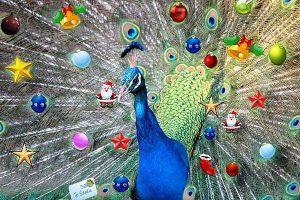 A Peacock gift for christmas